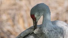 Grue du Canada (1) (Michel et Micheline) Tags: crandonpark floride florida faune floridabirds fauna keybiscayne oiseaux wildlife park parc canon canon70d 2020 sandhillcrane