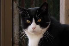 IMG_0424 Melquiades (Fernando Sa Rapita) Tags: mallorca sarapita melquiades cat gato mascota pet canon canonpowershot powershotsx70hs