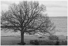2020/018: A Gray Rainy Day on the Bay (Rex Block) Tags: nikon d750 dslr 85mm f18g chesapeake bay annapolis maryland chesapeakebayfoundation tree beach water shore gray rainy rain monochrome bw project366 366the2020edition 3662020 day18366 18jan2020 ekkidee 2020018agrayrainydayonthebay