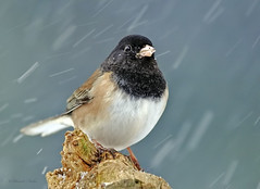 Dark-eyed Junco (ChasingNature) Tags: bird songbird junco perched snowing cold day tree darkeyedjunco oregonsubspecies