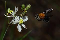 Prepare for Landing (zimbart) Tags: mozambique africa fauna flora arthropoda chlorophytum angiosperms monocots anthericaceae asparagales chimanimanimts chimanimaniconservationarea chlorophytumgalpinii insects hymenoptera anthophoridae