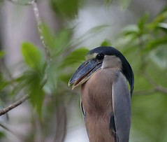 EOS-1D X3196. View Large. Boat-billed Heron. Tárcoles River. Costa Rica. Central America. (E.W. Smit Wildlife) Tags: tourist tourists outdoors outdoor animal avian animals wildanimal canon nature wildlife costarica tárcolesriver ríograndedetárcoles boatbilledheron heron bird birds wildanimals river water pacificocean centralamerica gitzo gitzotripod g1325mk2 gitzog1325mk2 gitzog1325mk2tripod wimberley wimberleygimbalheadwh200 wimberleygimbalhead wimberleywh200 gimbalhead ef500mmf4lisii ef500mmf4lisiiusm canonef500mmf4lisiiusm telephotolens tripod supertelephotolens canoneos1dx 1dx canon1dx canonef500mmf4lisii canonef14xextenderiii canonef14xiii eos1dx park parks canonef500mmf4lisiiusm14xiii canonef500mmf4lisii14xiii ef500mmf4lisii14xiii 14xiii ef500mmf4lisusm14xiii