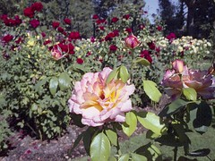 Roses on 110 film - HSS! (JSB PHOTOGRAPHS) Tags: pentaxauto110 18mm 699 110film film filmcamera filmphotography filmisnotdead owenmemorialrosegarden roses sliderssunday hss expiredfilm