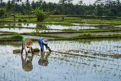 El ball de l'arròs - Rice dance (Laponet) Tags: laponet maulet panasonic robert leica 1260 bali balinesia asia indonesia rice arròs arroz ris risso rissoto dance ball danza harvest uro m43