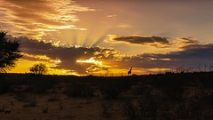 Sonnenaufgang in der Kalahari (petraherdlitschke) Tags: africa kgalagadi kalahari sunrise landscape canon5dmark4 canon2470mm light nature naturephotography outofafrica orange wildlifephotography