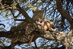 Leopard with kill (renatecamin) Tags: kenia leopard kenya cat groskatze wildlife afrika africa