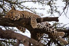 relaxed (renatecamin) Tags: kenia leopard kenya wildlife africa afrika cat groskatze tier animal
