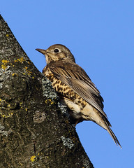 Thrush (Treflyn) Tags: thrush bird wild wildlife nature sol jol park earley reading berkshire uk