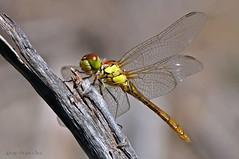 Teneral (ajmtster) Tags: macro macrofotografía insecto insectos invertebrados libelulas odonatos sympetrum striolatum sympetrumstriolatum teneral macho male amt dragonflies dragonfly