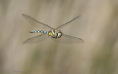 Aeshna mixta (Latreille, 1805) (Pipa Terrer) Tags: aeshnamixta odonata libélula dragonfly insecta invertebrados insectos cartagena anisoptera