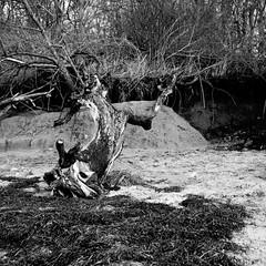 Timmendorf (salparadise666) Tags: zeiss super ikonta 53216 fomapan 100 boxspeed caffenol cl nils volkmer 6x6 square medium format vintage camera folding tree landscape seascape baltic sea poel wismar bw black white monochrome mecklenburg vorpommern germany