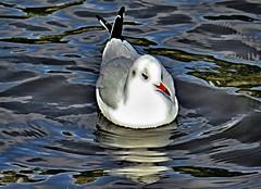 Gull on Conn's Water (TomIestyn) Tags: waterfowl gull water ripples reflection ireland northernireland belfast victoriapark connswater sydenham