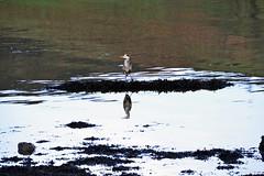 (Zak355) Tags: rothesay isleofbute bute scotland scottish heron birds wildlife portbannatyne