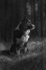 Alone in Dark... (czypek) Tags: dog border collie animal majestic nature pet cute portrait mammal background bokeh domestic purebred outdoor forest pedigree canine puppy fur australian red adorable awesome nostalgic isolated