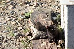 Cats (CarloAlessioCozzolino) Tags: cagliari sardegna sardinia gatti cats animali animals poetto