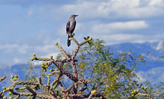 Northern mockingbird (Lynnemvt) Tags: chollacactus arizona november 2019 panasonic lumix fz1000 nature desert tucson rinconmountain