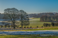 Frosty morning in Hampshire (fotosforfun2) Tags: winter landscape tree green frost seasons hintonampner nationaltrust morning distance england britain uk view brown sky blue cows cattle