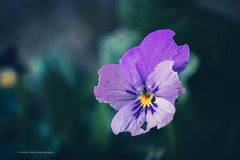 Sony a7r2 sony 90mm 2.8 macro g (Jasrmcf) Tags: garden nature ngc greatphotographers colours colourful colourartaward dof detail depthoffield bokeh bokehgraph bokehlicious flower flowers purple dreamy beautiful blur closeup sonymacro macro sony sonya7r sonyg sonyimages sony90mm28 sonya7rii