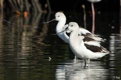 American Avocet (bjptada) Tags: americanavocet birds cuba