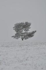 Kiefer im Schnee (Uli He - Fotofee) Tags: gersfeld rhön winter schnee licht bäume kiefer ulrike ulrikehe uli ulihe ulrikehergert hergert nikon nikond90 fotofee