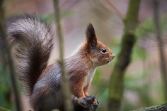 Red squirrel, Seurasaari, Helsinki (Boxun Zhang) Tags: squirrel nature wildlife helsinki finland europe sonyalpha sony