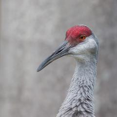 Grue du Canada (3) (Michel et Micheline) Tags: crandonpark floride florida faune floridabirds fauna keybiscayne oiseaux wildlife park parc canon canon70d 2020 sandhillcrane