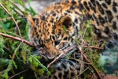 Amur Leopard cub - Colchester Zoo (stu norris) Tags: amurleopardcub colchesterzoo amurleopard leopard cat bigcat nature winter cute coth5