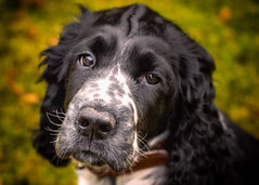 9_1 (KRR_3) Tags: sony a6000 nex selp18105g puppy dog archie ess englishspringerspaniel