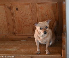 Searching look (Katy Wrathall) Tags: january england pet dog eatyokrshire chichuahua 2020 mouse domestic animal