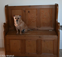 Benched (Katy Wrathall) Tags: january england pet dog eatyokrshire chichuahua 2020 mouse domestic animal