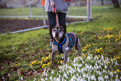 Kai and snowdrops (Stray Toaster) Tags: cambridge kai dog staffy staffordshire bull terrier wandlebury country park forest snowdrop aconite