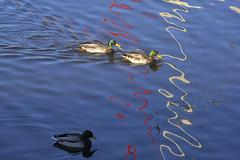 DuckAbstract (Tony Tooth) Tags: nikon d600 nikkor 200mm f4 ai ducks water lake abstract lines rudyardlake staffs staffordshire rudyard