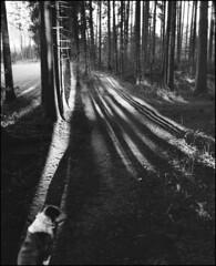meine ISA (jo.sa.) Tags: wald hund licht schwarzweiss schwarzweissfotografie schatten bäume analog analogefotografie sw bw monochrom rollfilm mittelformat 6x7 plaubel makina67 fomapan400