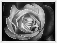 Una rosa - A rose (Eugenio GV Costa) Tags: approvato digital painting graphic art arte digitale