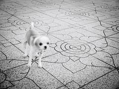 6674 - Motion blur (Diego Rosato) Tags: motion mosso rey cane dog animal animale pet puppy cucciolo giardino garden bianconero blackwhite fuji x30 rawtherapee blur