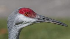 Grue du Canada (2) (Michel et Micheline) Tags: crandonpark floride florida faune floridabirds fauna keybiscayne oiseaux wildlife park parc canon canon70d 2020 sandhillcrane