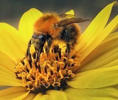 Our time flies.. (Robyn Hooz) Tags: ape fiore giallo bee primavera spring insetticida kill death mankind biological distruzione ecosistema echology padova
