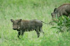 Young Warthog at Serengeti (eschborn.photography) Tags: animal serengeti tansania tanzania warthog eschborn eschbornphotography