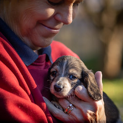 Cooper (99baggett) Tags: cooper puppy puppies dachshund porth dachshunds kennels jmb1950 mbaggettphotography porthkennels