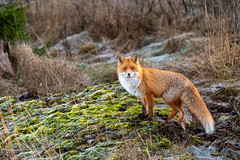 Red Fox on a frosty morning (Harles Azza Photography) Tags: fox redfox rebane räv animalphotography wildlife nature wildlifephotography naturephotography natureshooters nikon outdoors natgeo picoftheday photography animals photooftheday wildlifeaddicts