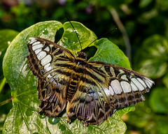 Clipper Butterfly on a Leaf (Stephen G Nelson) Tags: arizona butterfly insect tucson botanicalgarden clipper