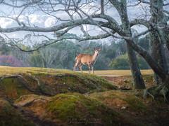 Oh Deer (Gift of Light) Tags: nara narapark park japan travel animal deer morning sony sonyalpha sonya9 a9 alpha sonyfe24105mmf40goss fe 24105mm 2410540 4024105 f40 g oss