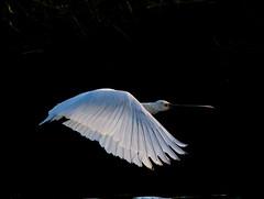 Photo of Spoonie in Flight