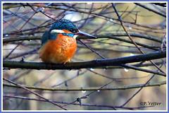 Martin-Pêcheur 200118-01-P (paul.vetter) Tags: nature faune oiseau vogel bird martinpêcheur alcedoatthis commonkingfisher martínpescadorcomún guardarios eisvogel alcédinidé