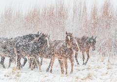 (Marc Crumpler (Ilikethenight)) Tags: wildlife animals horses wildhorses nevadawildhorses usa usawest nevada washoecounty washoevalley washoelake marccrumpler snow blizzard cold winter canon canon7dmarkii 7dmarkii 70300mmf456lisusm