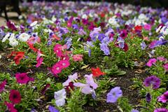 Sydney Hyde Park flowers #_GB_0765 (gunnar.berenmark) Tags: sydney australia australien newsouthwales nsw city stad urban flower park