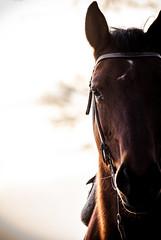 Speedy (Kris Ganser) Tags: horse quater western riding reiten animal close up pferd