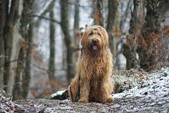 CMW06634-02 (clemenswass) Tags: contax zeiss cy 200mm f4 briard dog wood snow