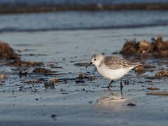 Sanderling (Artisanart) Tags: sanderling bird nature wildlife norfolk nuthatch reserve titchwell beach sea coast tidal