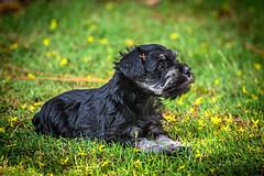 "Obi Cuteness from the archives (uofmtiger) Tags: schnauzer schnauzerpuppy pup puppy ""puppyingrass"""